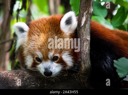 Red Panda Lying On Tree For Recreation - Stock Photo