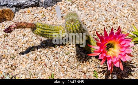 University of California at Santa Cruz Arboretum, Blooming Cactus - Stock Photo