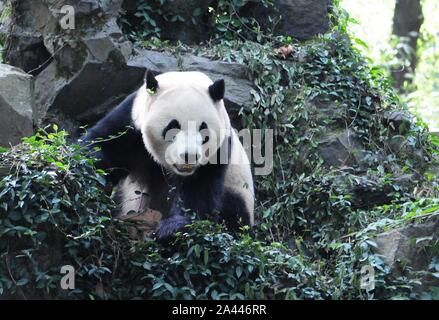 Giant panda brothers Chengjiu and Shuanghao are pictured before a celebration for their five years birthday at Hangzhou Zoo in Hangzhou city, east Chi - Stock Photo
