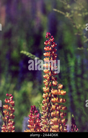 Lupins in New Zealand - Stock Photo