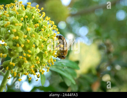 Bee seeks nectar at a flowering ivy (Hedera helix) in late summer, Bavaria, Germany, Europe - Stock Photo