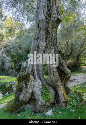 Old Olive Tree (Olea europaea), Punta San Vigilio, Lake Garda, Veneto, Italy, Europe - Stock Photo