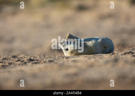 Young grey seal pup lying upside down on the beach playfully chewing its flipper on a beautiful sunny winter morning, Winterton on Sea, Norfolk - Stock Photo