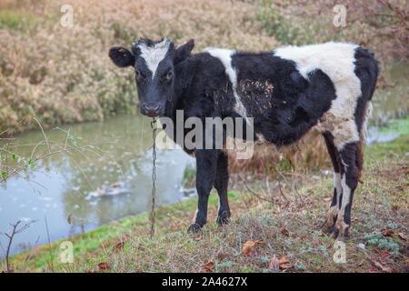 domestic black cow grazing on the river shore - Stock Photo