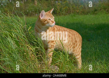 Red cat stands on the lawn, leaning his forepaws on a stone Stock Photo