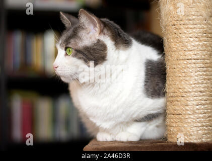A tender european white and gray cat posing on the scratching post - Stock Photo