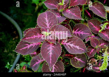 Close up of Coleus ( Plectranthus scutellarioides ) plant leaves growing in mawlynnong village of Shillong, Meghalaya, India - Stock Photo