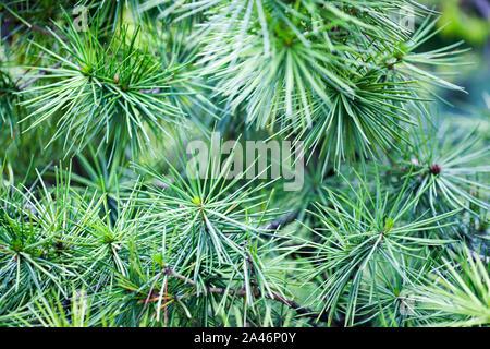 A close-up image of Japanese umbrella pine tree (Sciadopitys verticillata) - Stock Photo