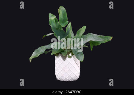 Tropical 'Phlebodium Aureum Blue Star' fern house plant in white pot isolated on dark black background - Stock Photo
