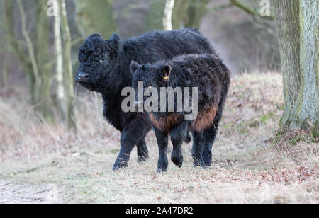 galloway cattle mother with calf - Stock Photo