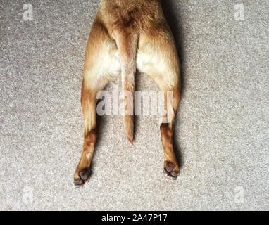 Looking down from above onto the hind legs of a pet dog stretching out whilst laying down and splooting with copy space - Stock Photo
