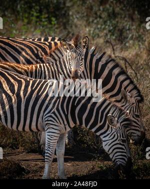 African Elephants in Imfolozi National Park - Stock Photo