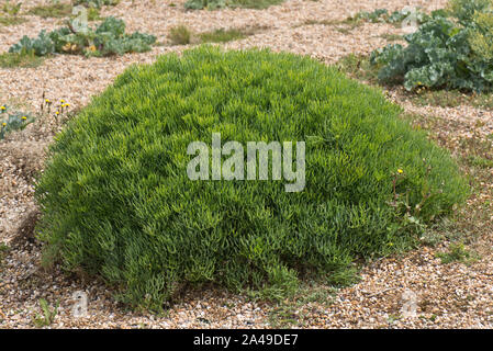 Rock samphire (Crithmum maritimum) dome shaped plant before flowering on shingle at Chesil Beach in Dorset, June - Stock Photo