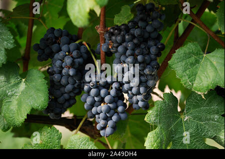 Uruguay, near Montvideo, wine maker, Castel Pujol - Juan Carrau SA, Bodega Colon since 1887, cultivation of grape Tannat - Stock Photo