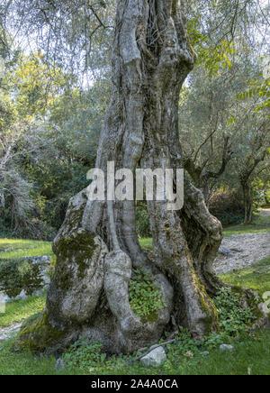 Old Olive Tree (Olea europaea) - Stock Photo