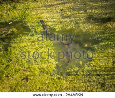 Algal scum forming in standing water. - Stock Photo