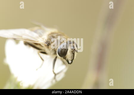 Syrphidae or hover fly, looks like a fake bee or wasp - Stock Photo