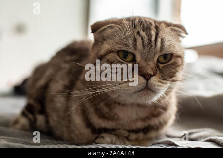 Tired, annoyed, angry cat Scottish Fold sadly looks in front of him, as she is not allowed to rest and sleep after night walks. Close-up. - Stock Photo