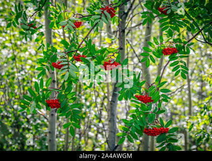 Red berries of the Mountain Ash Tree, Northwestern Ontario, Canada.