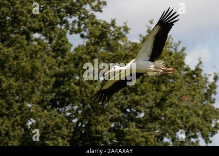Captive-reared juvenile White stork (Ciconia ciconia) flying past Oak trees soon after release, Knepp estate, Sussex, UK, August 2019. - Stock Photo