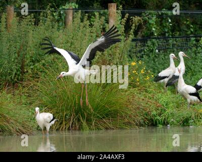 Captive-reared juvenile White storks (Ciconia ciconia) flying and walking from a temporary holding pen on release day on the Knepp Estate, Sussex, UK. - Stock Photo