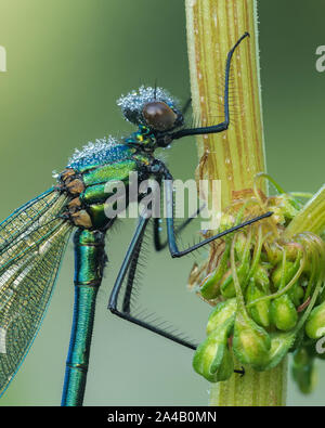 Male Banded Demoiselle Damselfly (Calopteryx splendens) with dew drops perched on plant stem. Tipperary, Ireland - Stock Photo