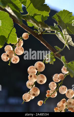 Close-up view to ripe white current berries on a branch on dark background with transparent view on seeds inside.