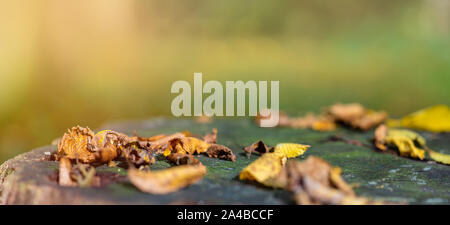 Fallen colorful leaves lie on old oak stump in the forest. Golden autumn. Natural background with copy space, banner format. - Stock Photo