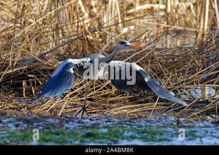 Grey Heron - Ardea cinerea  Taking off from reedbed - Stock Photo