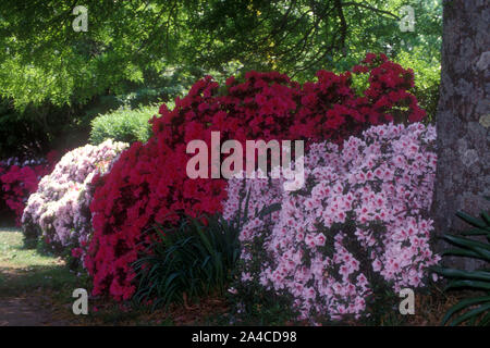 PINK AND RED AZALEA BUSHES GROWING BENEATH TREES IN A BLUE MOUNTAINS GARDEN, NEW SOUTH WALES, AUSTRALIA. - Stock Photo