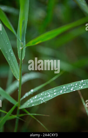 Rain drops running off Reed leaves, (Phragmites australis). Water drops. Rainfall. Surface tension. Drip, drips, dripping, run off. Weather. Climate. - Stock Photo