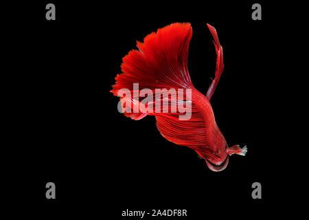 Portrait of a red betta fish - Stock Photo