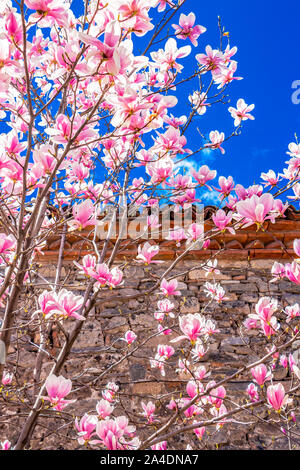 April white-pink flowers of Magnolia soulangeana, Saucer Magnolia tree next to a stone fence, in Plovdiv, Bulgaria - Stock Photo