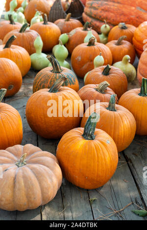 Variety of many pumpkins on the market. Different types pumpkins arranged on wooden table. Pumpkin background. Halloween graphic resources. - Stock Photo