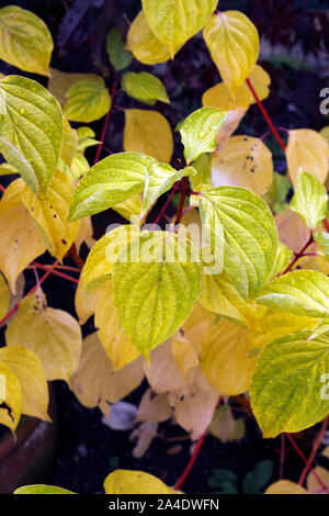 CORNUS SANGUINEA MIDWINTER FIRE. DOGWOOD - Stock Photo
