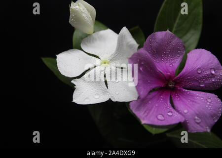 White and pink flowers on black background - Stock Photo