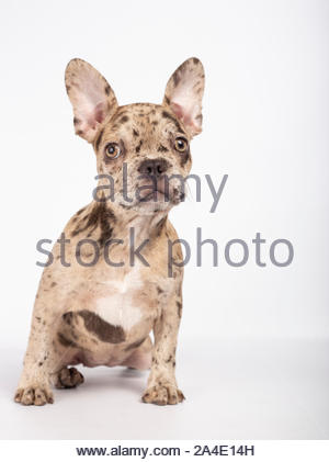 Lovely French Bulldog puppy, 3 months old, sitting on white background - Stock Photo