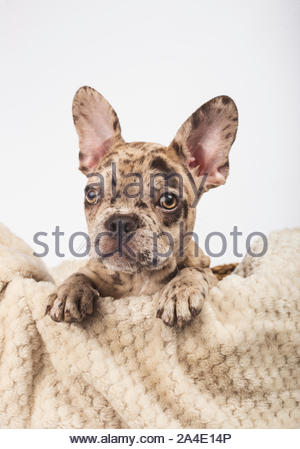 French Bulldog puppy, 3 months old tucked into a basket with his blanket. - Stock Photo