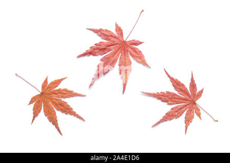Japanese autumn natural red maple leaf on white background - Stock Photo