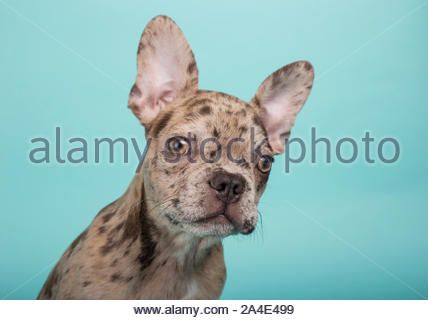Close-up of 3 month old french bulldog puppy on turquoise green background - Stock Photo