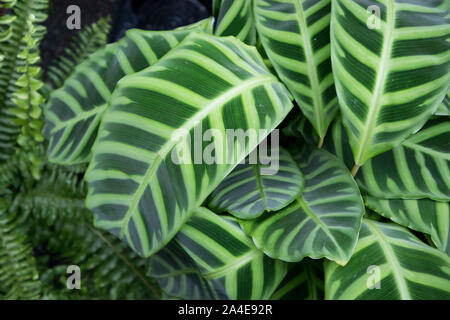 Tropical Maranta Leuc leaf texture in garden,abstract nature green with water drop on leaves background. - Stock Photo