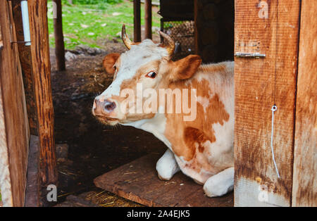 Portrait of a cow white-brown suit, lies in the barn of the village farm with an open door to the corral. She stepped into the shade from the heat. - Stock Photo