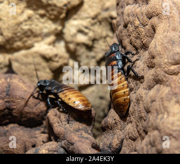 The madagascar giant cockroach  (Gromphadorhina portentosa) is crawling on rocky wall. - Stock Photo