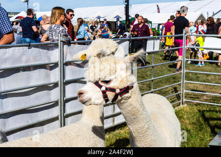 The heads of 2 alpacas on display in a pen at Frome Cheese Show September 14th 2019 - Stock Photo