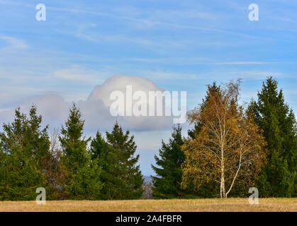 Birch tree with yellow leaves surrounded with ever green spruce trees in autumn time. For the background is beautiful blue sky with unusual clouds. - Stock Photo
