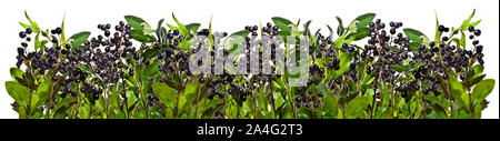 Privet twigs with black berries o white background - Stock Photo
