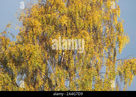 Silver Birch - betula pendula - in autumn, Scotland, UK - Stock Photo
