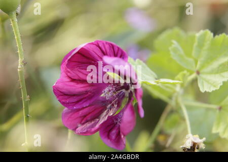 Common mallow or malva sylvestris flower - Stock Photo
