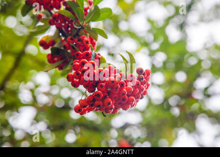 Red colored ripe rowan berries shining in sunlight (bokeh image) - Stock Photo