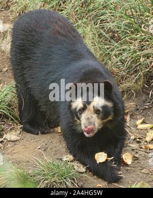 Spectacled bear (Tremarctos ornatus), Ecuador - Stock Photo